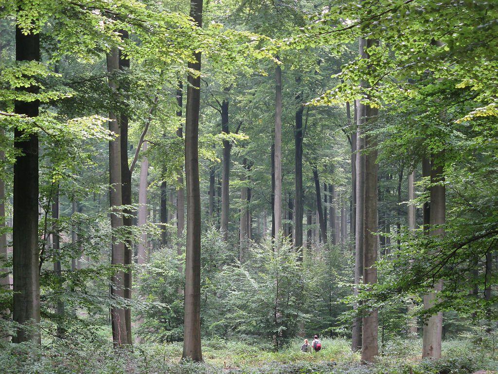 Bukova šuma