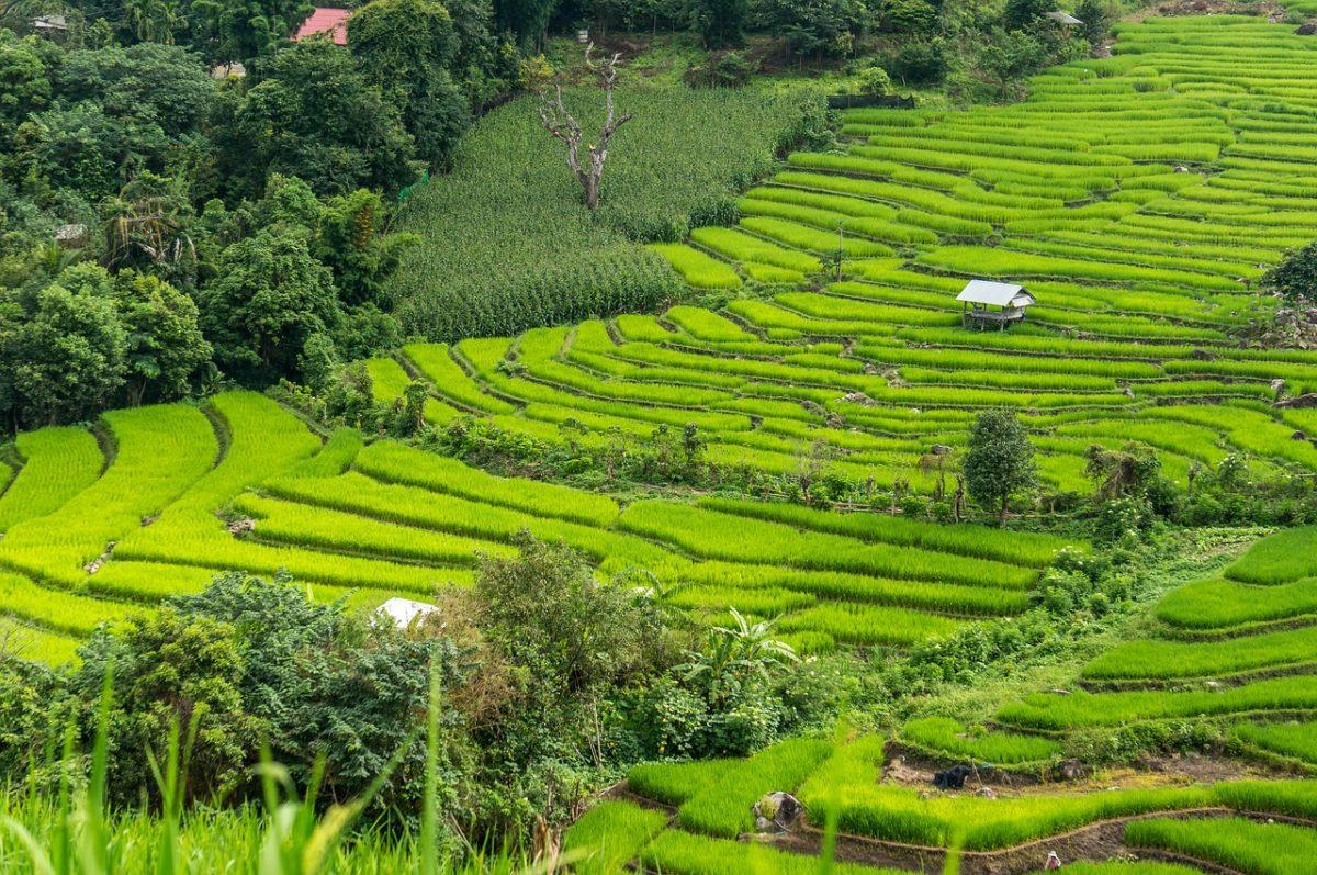 Pirinčana polja u Tajlandu