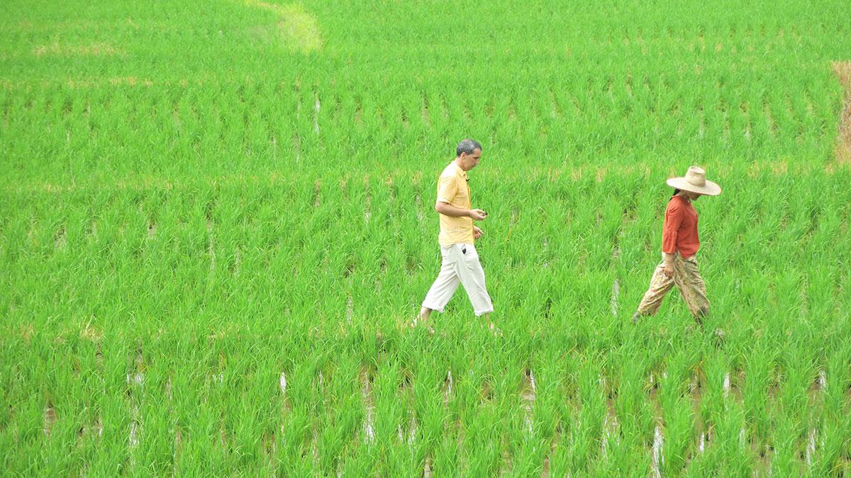 Lepi Brka u polju pirinča