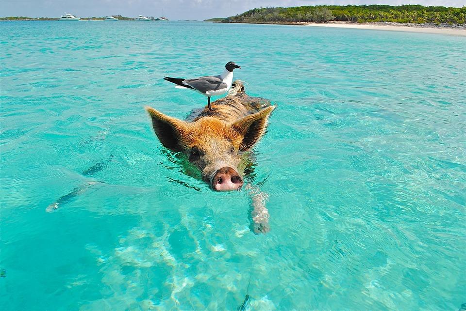 Plivajte sa svinjama na Bahamima