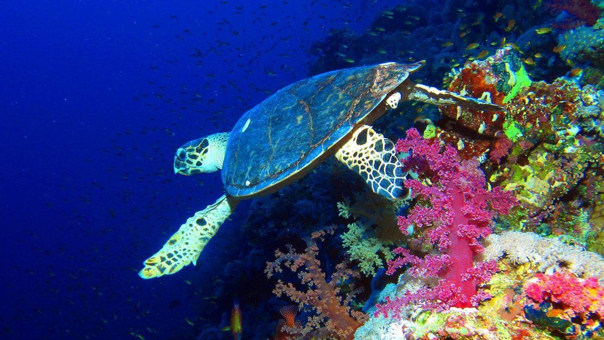 Greben Elphinstone, Crveno more, Egipat, kornjača
