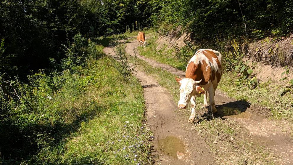 Fine i negovane krave, foto: Uroš Nedeljković