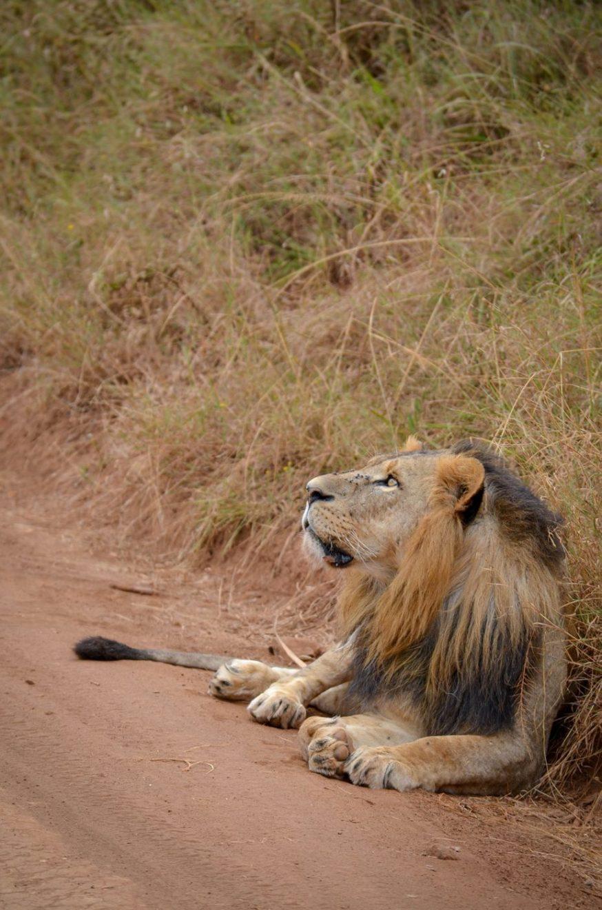 Kenijski lav deluje kao sasvim običan lav, foto: Uroš Janić