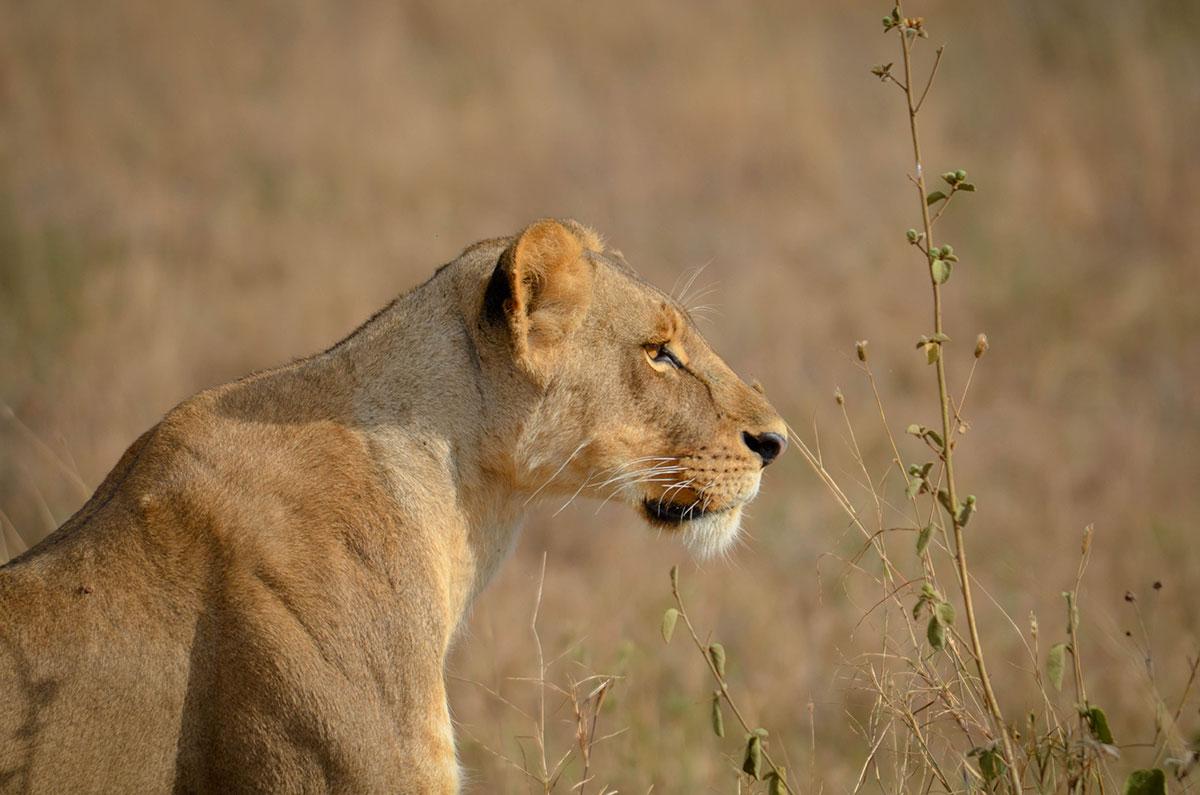 Šta li radi onaj vucibatina od lava, misli se lavica; foto: Uroš Janić
