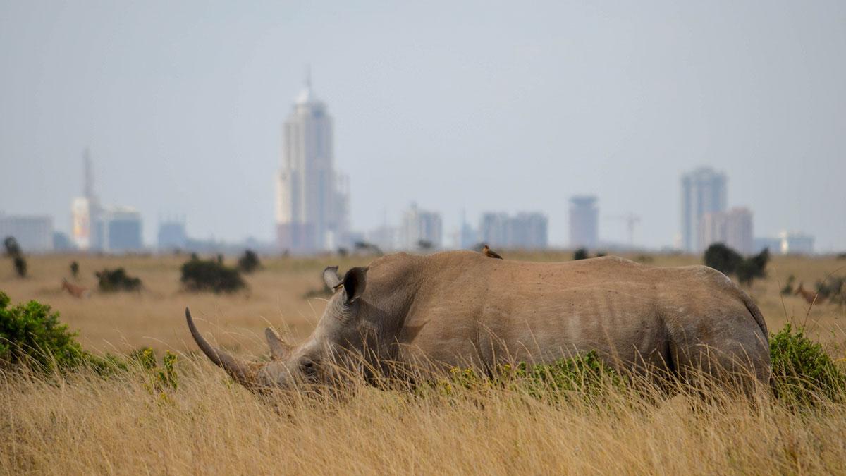 Nosorože, jel se s malom platom može? foto: Uroš Janić