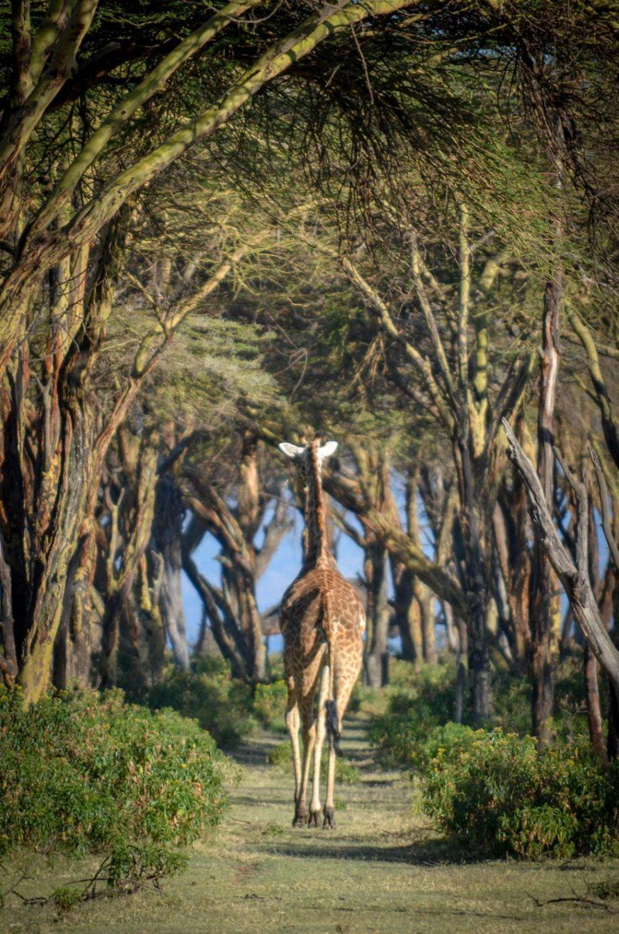 Žirafa, foto: Uroš Janić