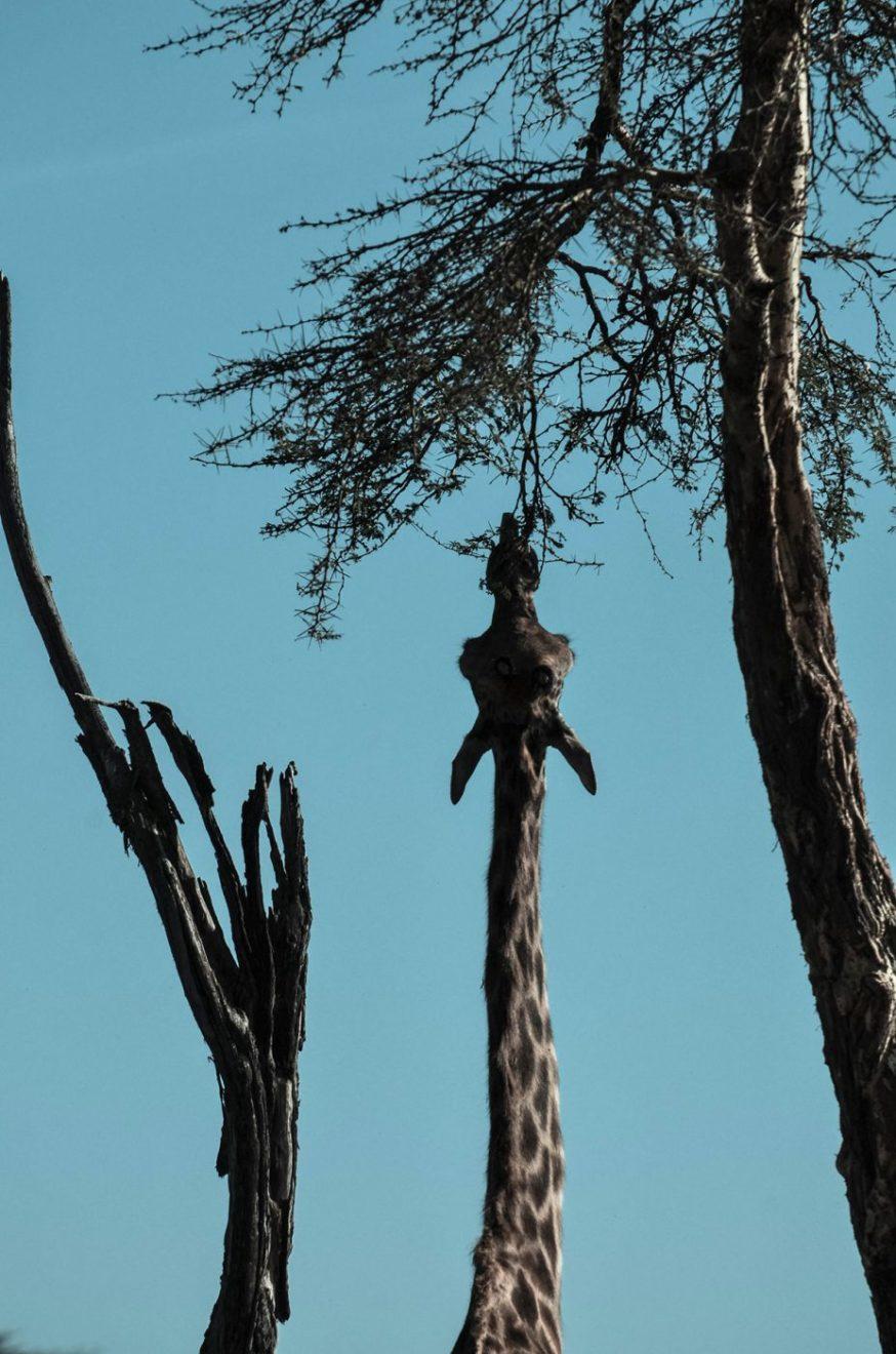 Opet žirafa, foto: Uroš Janić