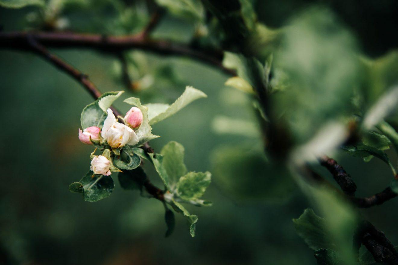 Pupoljci, proleće