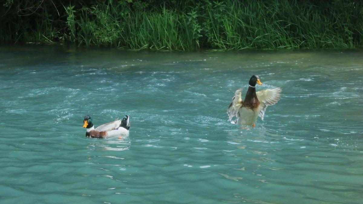 Ove patke nisu ni svesne dubine Krupajskog vrela, foto: Vladimir Bojović