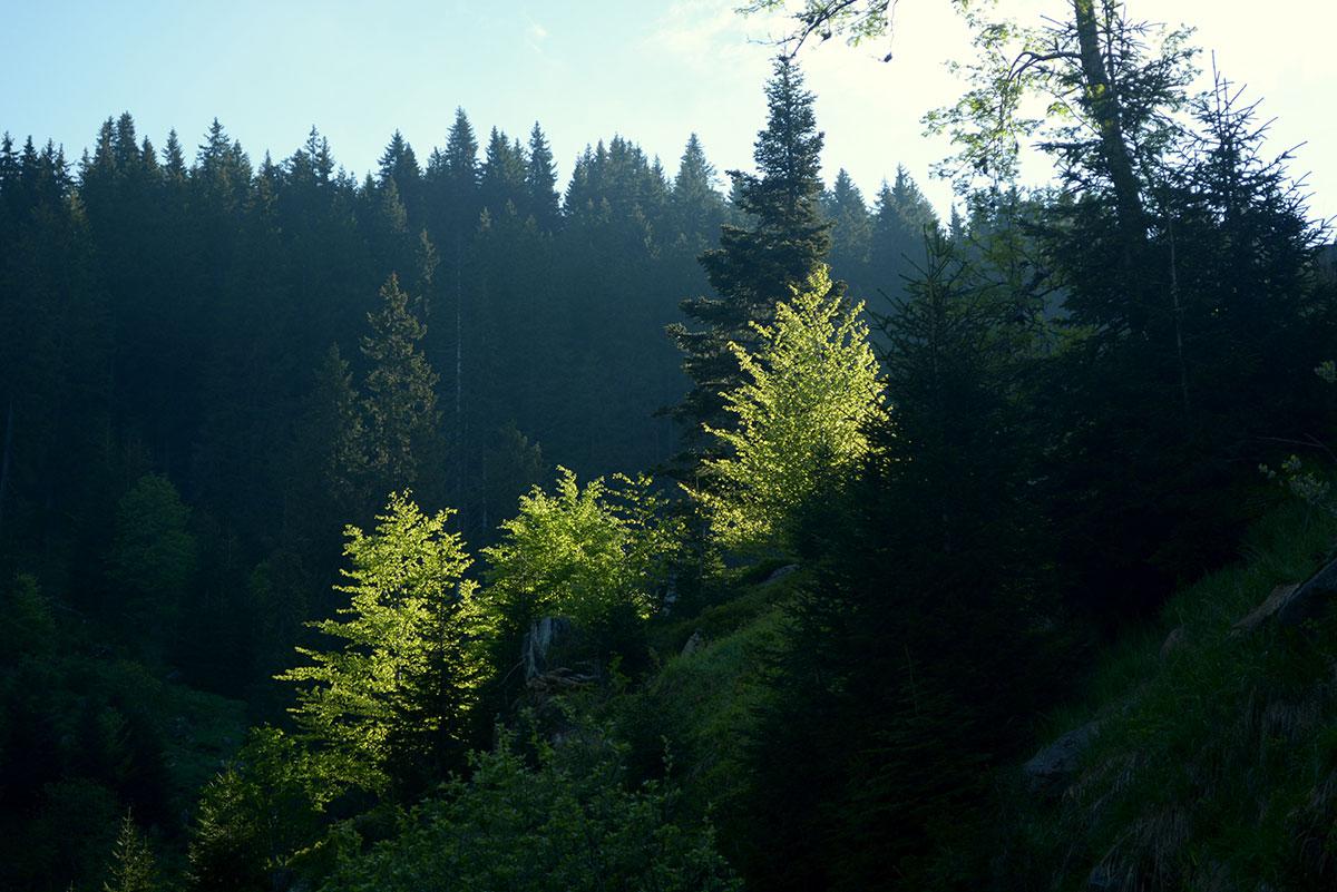 Guste šume Arbinja na Staroj planini, foto: Zoran Sipac