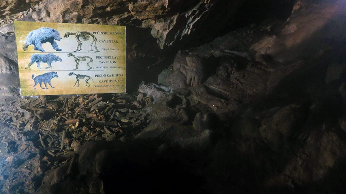 Ostaci pećinskih životinja u Lazarevoj pećini: pećinski medved, pećinski lav i pećinska hijena. Foto: Uroš Nedeljković