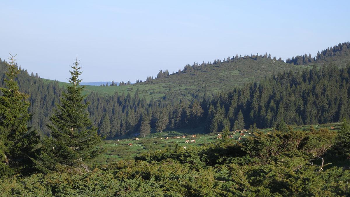 Stoka na ispaši pri silasku sa vrha Tri čuke, foto: Uroš Nedeljković